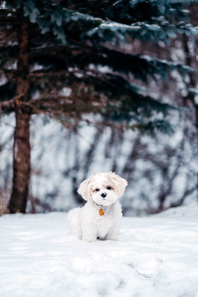 When nature calls, nature is closer to your pets when you own your own home. Photograph of small white dog in the snow.